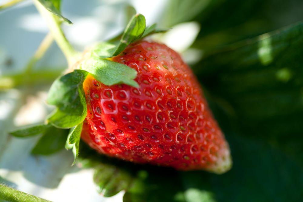 strawberry picking Cambridge